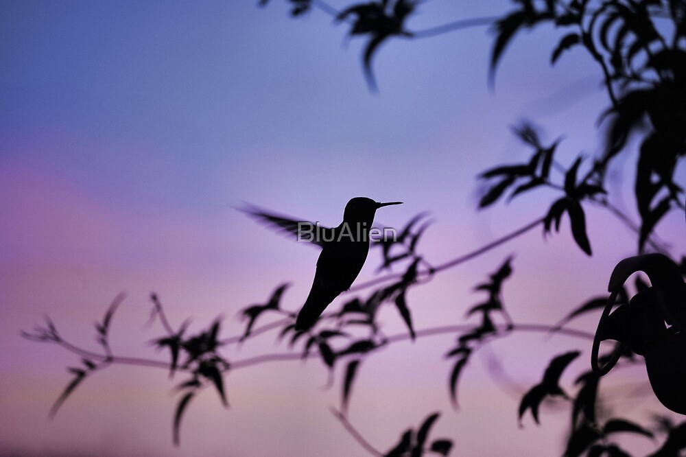 Sunset Hummingbird by PixelBoxPhoto