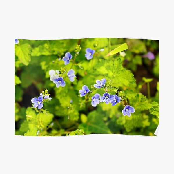 Natural blue flowers Veronica with green leaf  Poster