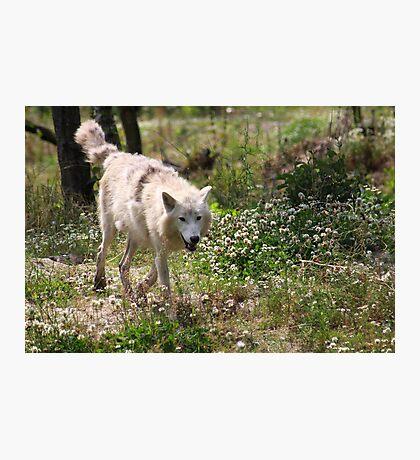On the Run - Hudson Bay Wolf Photographic Print