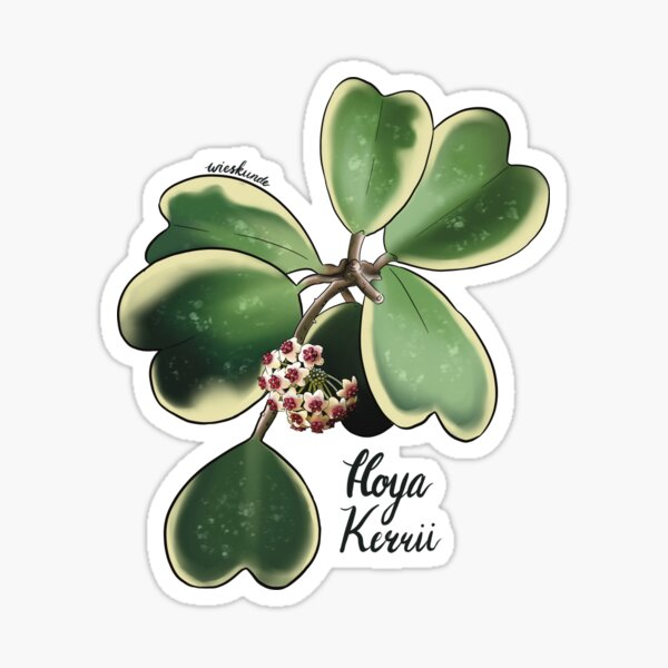 Hoya kerrii albomarginata in bloom Sticker