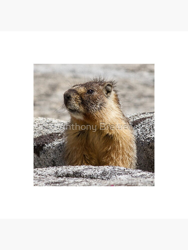 A marmot appears by dailyanimals