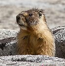 A marmot appears by Anthony Brewer