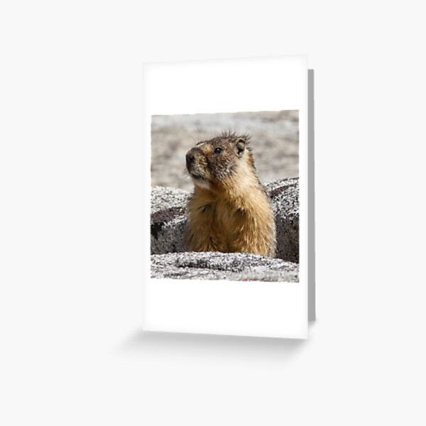 A marmot appears Greeting Card