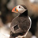 Pretty Little Posing Puffin by Anna Ridley