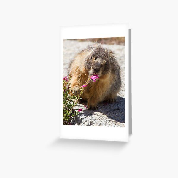 The marmot who inspects flowers Greeting Card