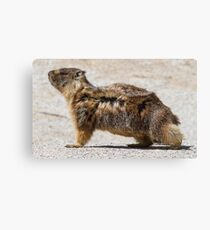 The marmot who poses in the wind Canvas Print