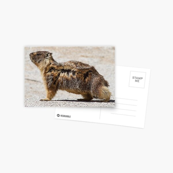 The marmot who poses in the wind Postcard