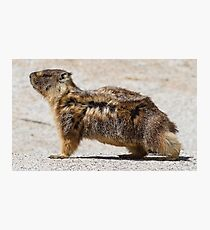 The marmot who poses in the wind Photographic Print