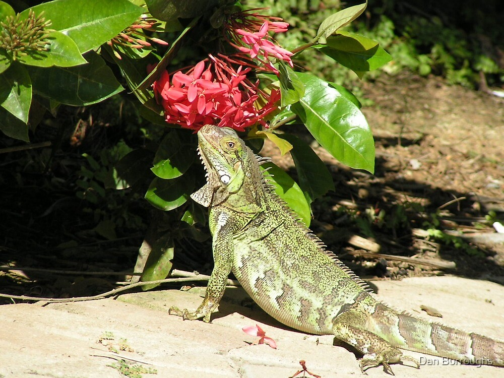 Hungry Iguana by runner007