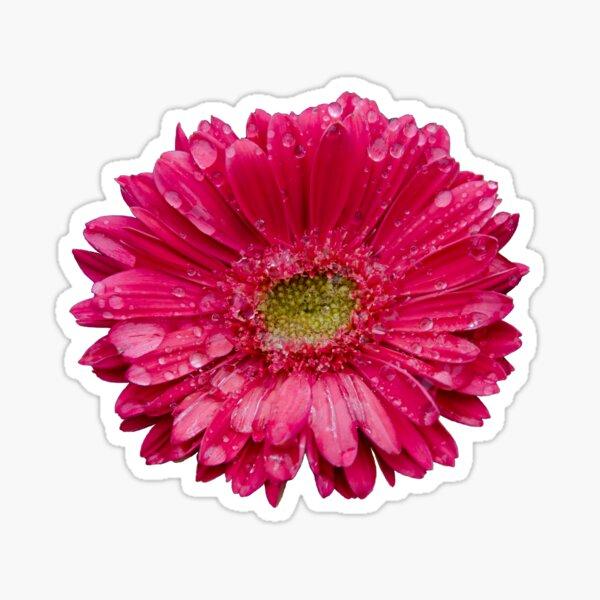 Gerbera Margarita Flor Gota de agua Lluvia Rosa fuerte Pegatina