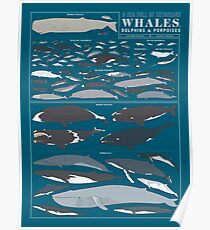 A SEA FULL OF CETACEANS: WHALES, DOLPHINS, AND PORPOISES Poster