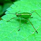Green Bush Cricket by ©The Creative  Minds