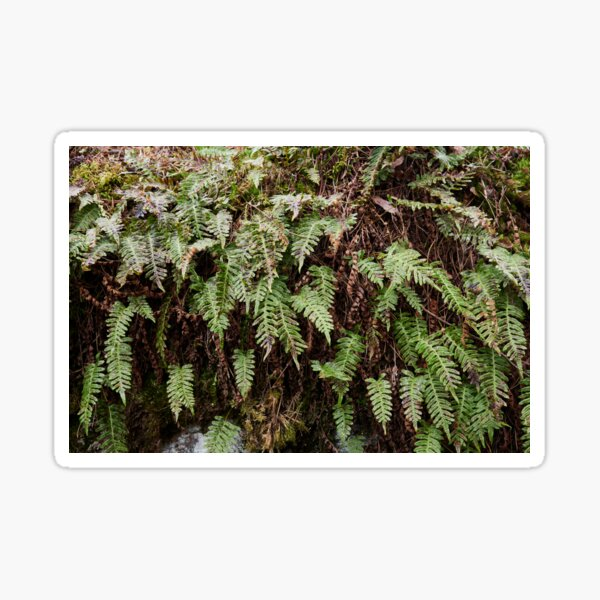 Some green after  the winter.  Common polypody Sticker