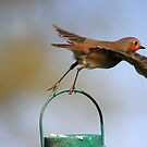 Robin flying from bird feeder by turniptowers
