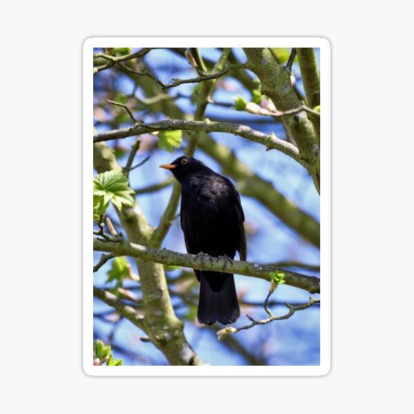 Singing Blackbird Sticker