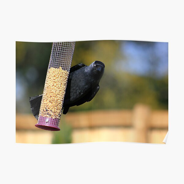 Jackdaw on bird feeder  Poster