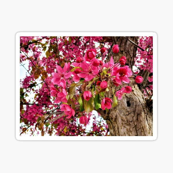 Pink blossom Sticker