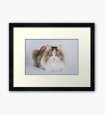 Long Hair tortoiseshell cat Framed Print