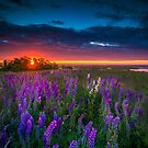 Field of Lupines at Sunrise by Artist Dapixara