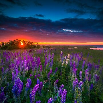 Field of Lupines at Sunrise by capecodart