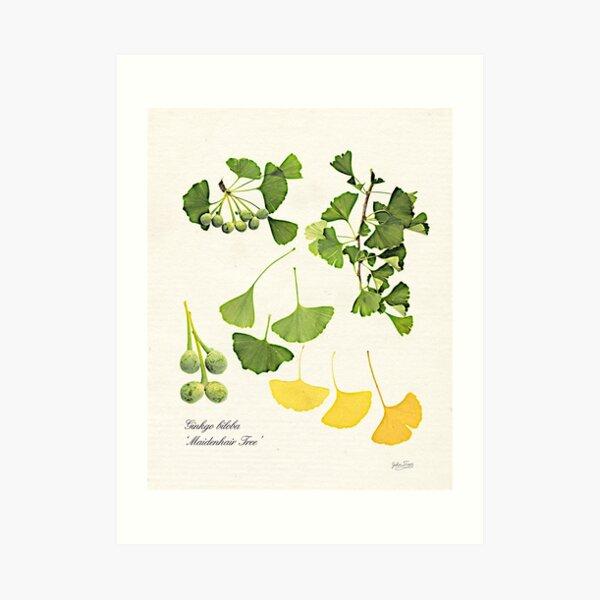 Ginkgo biloba botanical print Art Print