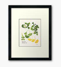 Ginkgo biloba botanical print Framed Print