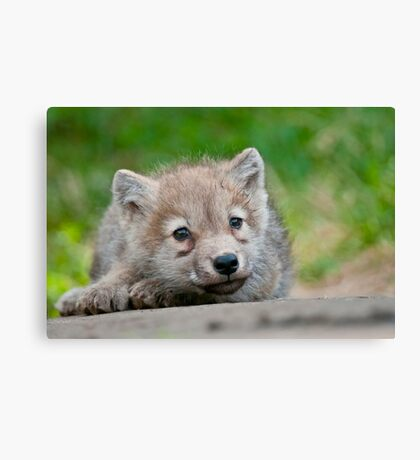 Arctic Wolf Pup Canvas Print