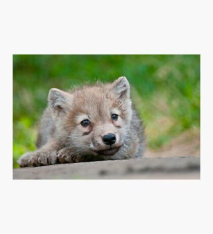 Arctic Wolf Pup Photographic Print