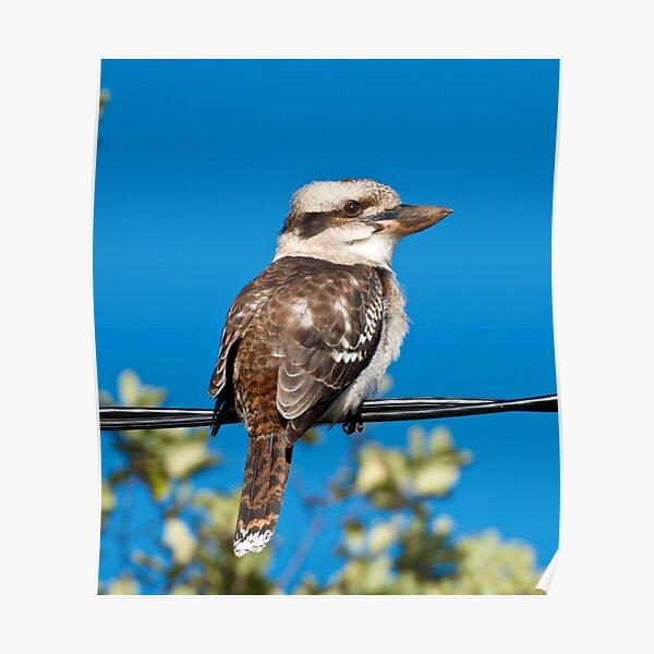 KINGFISHER ~ Kookaburra by David Irwin Poster