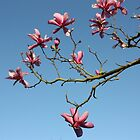 Magnolia blooming branch by annakul