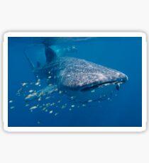 Whale Shark, Ningaloo Reef, Western Australia Sticker