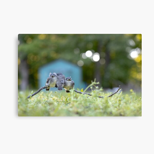 Fledglings - 3 Little Birds Canvas Print