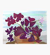 Oxalis or Shamrock Plant Photographic Print