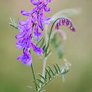 Vetch 2 by JEZ22