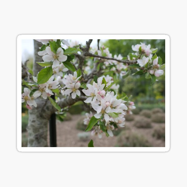 Cherry Blossom flowers white and pink Sticker