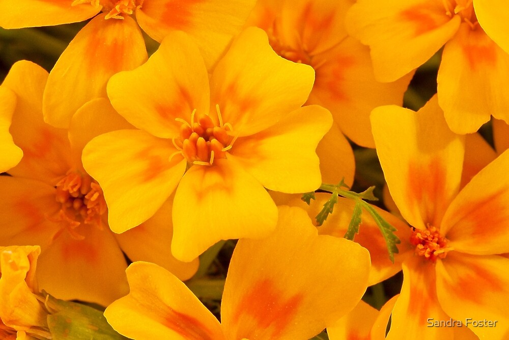 Tagette Blossoms Macro by Sandra Foster