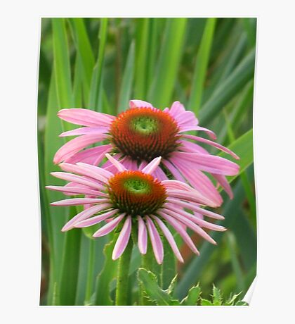 Coneflowers in the Pink  Poster