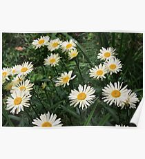Field of White Daisies Poster