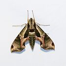 Pandorus Sphinx Moth by Alice Kahn