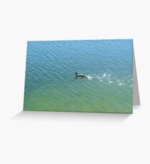 swimming duck Greeting Card