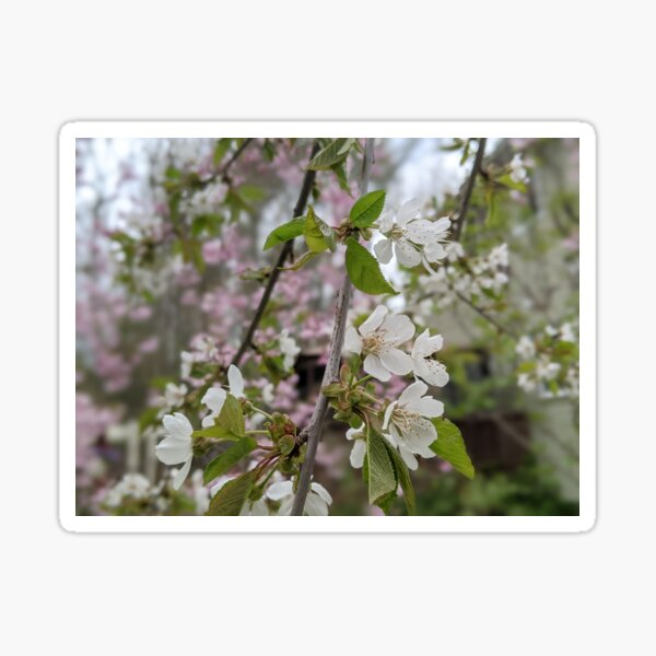 The Weeping Cherry White Blossom  Sticker