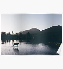 Elk Taking a Morning Dip Poster