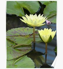 Yellow Lilies with Tiger Striped Lilypads Poster