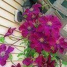 Backyard Purple Clematis by kkphoto1