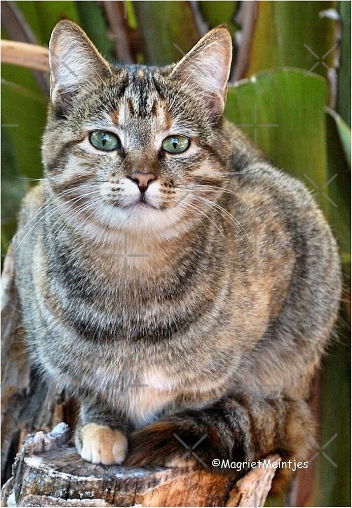 AFRICAN WILD CAT - Felis silvestris lybica  by Magriet Meintjes