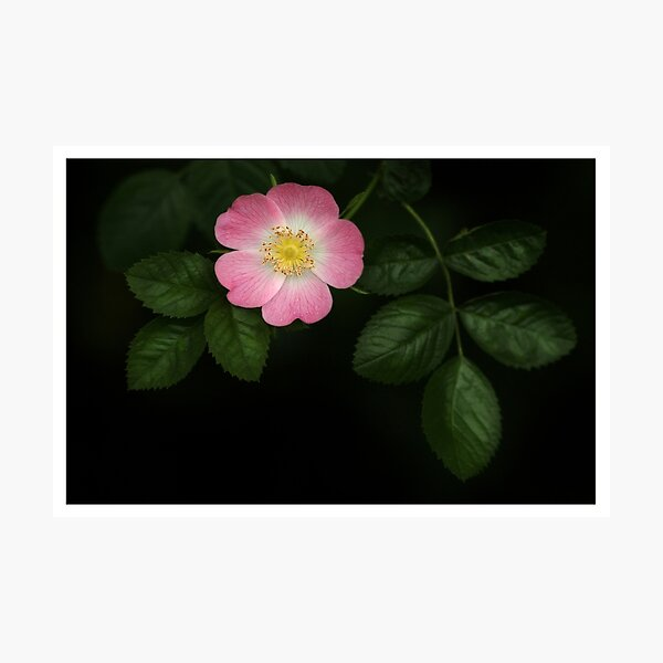 Wild Rose Photographic Prints Redbubble