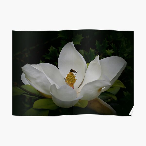 Giant Magnolia with visitor Poster