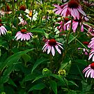 Coneflowers  by AnneDB