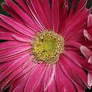 Gerber Daisy by DebbieCHayes