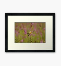 Dickcissel bird in an Arkansas Prairie. Framed Print